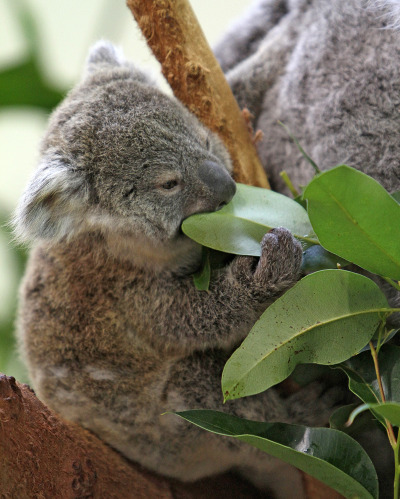 Baby koala riverbanks zoo lottie and oliver 3 rs