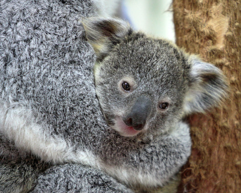 Baby koala riverbanks zoo lottie and oliver 4 rs
