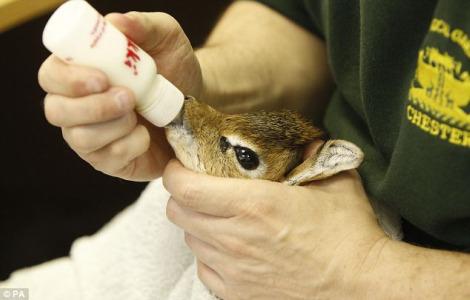 Baby dik dik chester zoo 3