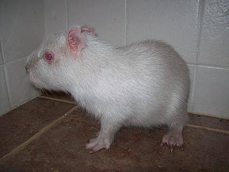 Albino capybara mbopicua 1 rs
