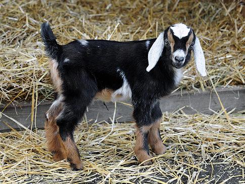 Alg_baby_goat_central_park