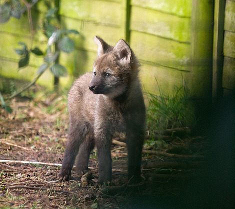 Maned wolf pup paignton zoo 1 rs