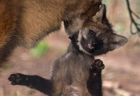 Maned wolf pup paignton zoo 3 rs2
