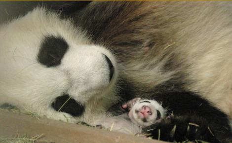Mei lan atlanta zoo giant panda cub