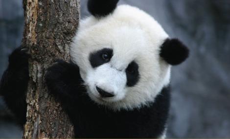 Mei lan atlanta zoo giant panda cub 2