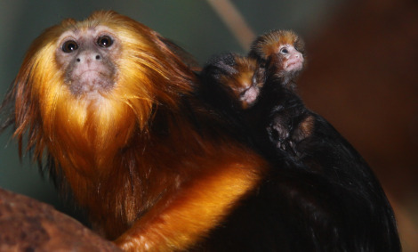 Baby golden marmosets antwerp zoo 1 rs