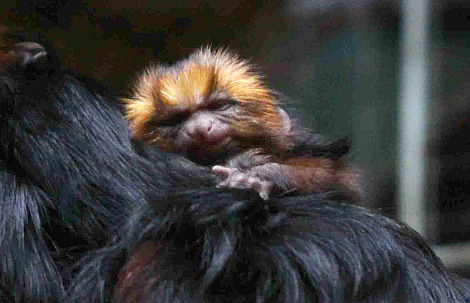 Baby golden marmosets antwerp zoo 3 rs