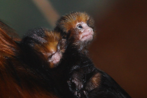 Baby golden marmosets antwerp zoo 1 rs2
