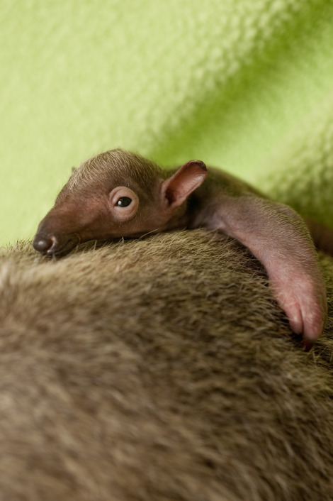 Baby anteater discovery cove 2 rs