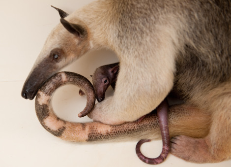Baby anteater discovery cove 4 rs
