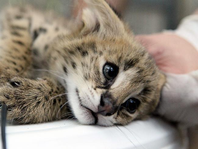 adelaide zoos 3 little serval kittens zooborns