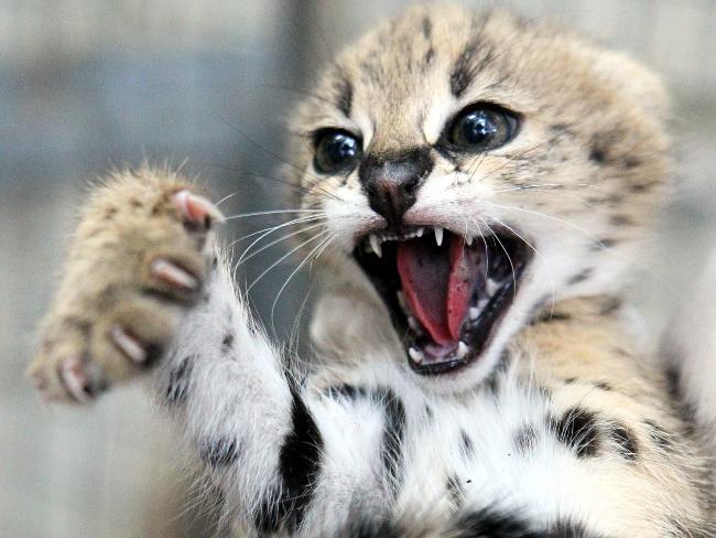 751561-serval-kittens