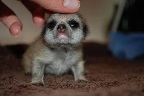 Baby meerkats paradise wildlife park 2
