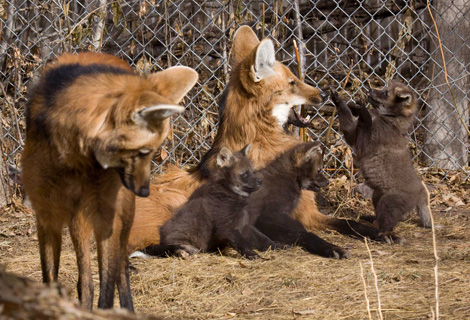 Maned_wolf_pups_9929l_dp