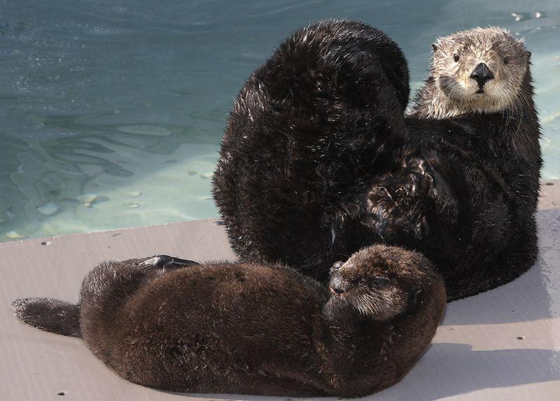 Baby sea otter monterey bay aquarium 2