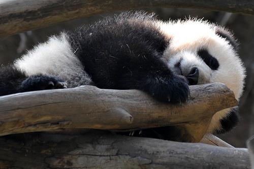 Baby panda yun zi wrestling 1