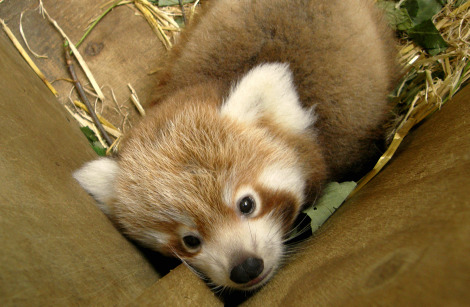 Red panda cub with mom amy wellington zoo 3 rs