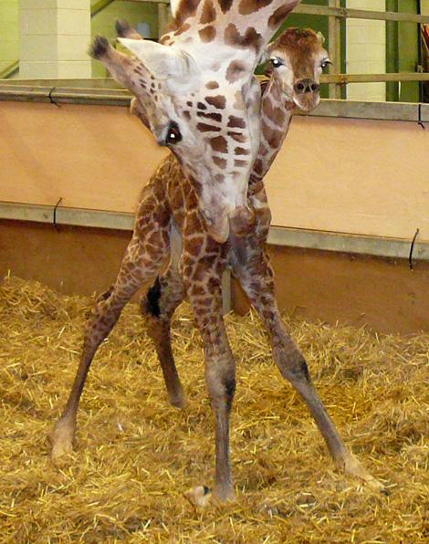 2010-02-giraffe-3