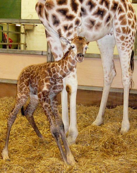 2010-02-giraffe-5