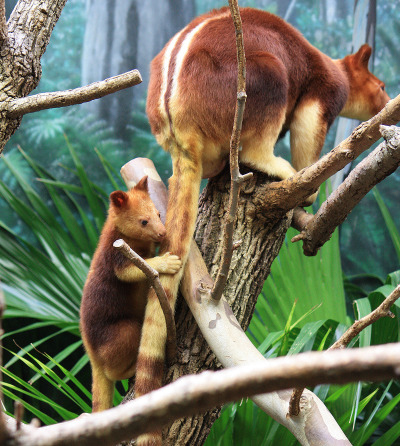 Baby goodfellows tree kangaroo joey cleveland metroparks 1 rs