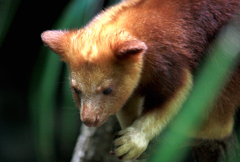 Baby goodfellows tree kangaroo joey cleveland metroparks 3 rs