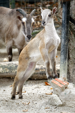 One-of-the-tahr-babies-stretches-while-mum-looks-on-in-the-background