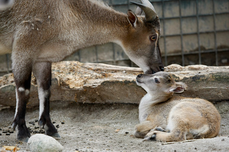 Mom-and-baby-tahr-1