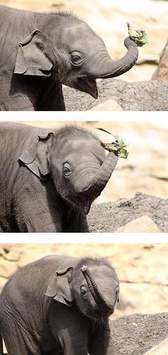 Luk chai baby elephant calf taronga zoo strip
