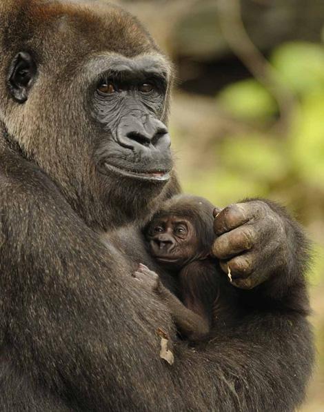 Gorilla_Disney
