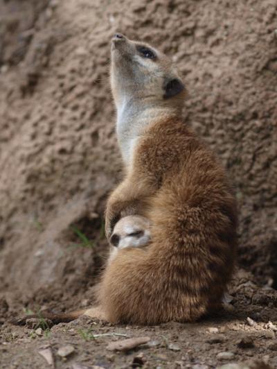 Baby meerkat pup san diego zoo 1 rs