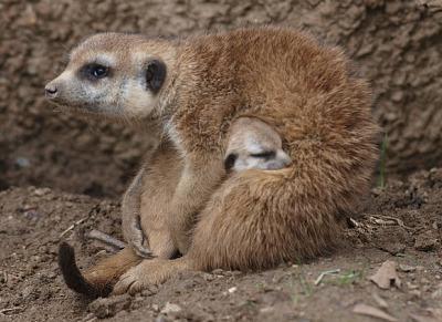 Baby meerkat pup san diego zoo 3 rs2
