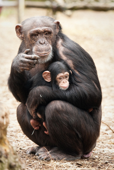 Baby chimp and mom at dierenpark zoo