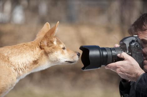 Dingo puppies Fort Wayne Children's Zoo 2