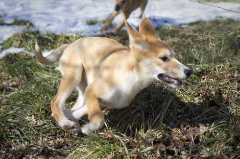 Dingo puppies Fort Wayne Children's Zoo 3_picnik