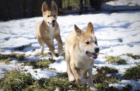 Dingo puppies Fort Wayne Children's Zoo 4