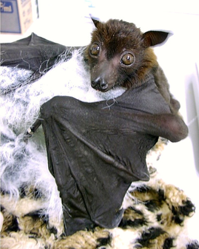 0.1 Large Flying Fox Vixen © D. LeBlanc, Lubee Bat Conservancy