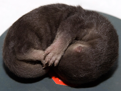 Otter-Pup-2010---10---G.-Jones,-Columbus-Zoo-and-Aquarium