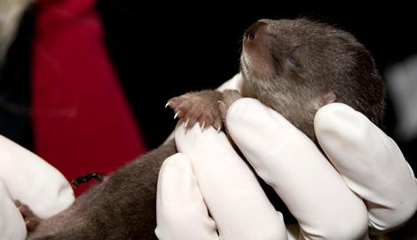 Otter-Pup-2010---09---G.-Jones,-Columbus-Zoo-and-Aquarium