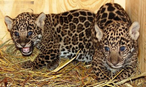 Jaguar cubs mesker zoo 1 rs