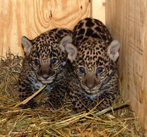 Jaguar cubs mesker zoo 2 rs