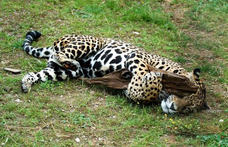 Jaguar mom mesker zoo closeup 4_picnik