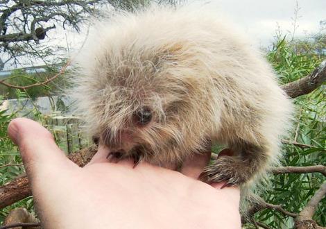 Sphiggurus spinosus porcupine m'bopicua 1