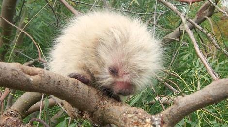 Sphiggurus spinosus porcupine m'bopicua 3