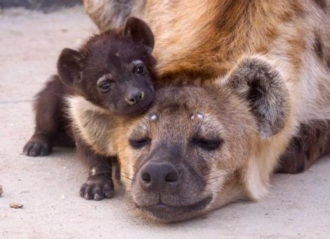 hyena baby