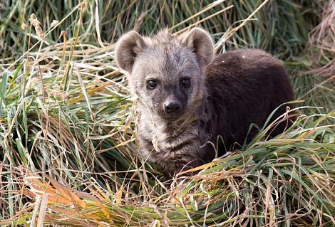 Baby hyena cub denver zoo 2