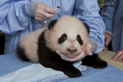 Baby panda cub san diego zoo 4 rs