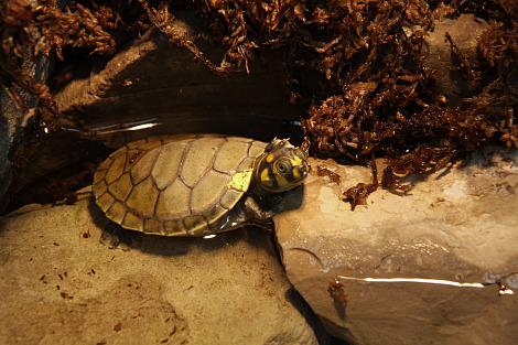 Baby turtle buffalo zoo 3b rs