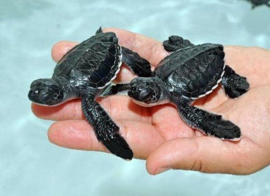 82 tiny baby sea turtles make lots of little waves zooborns publicscrutiny Image collections
