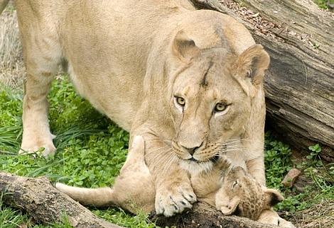 Lion cubs columbus zoo 4