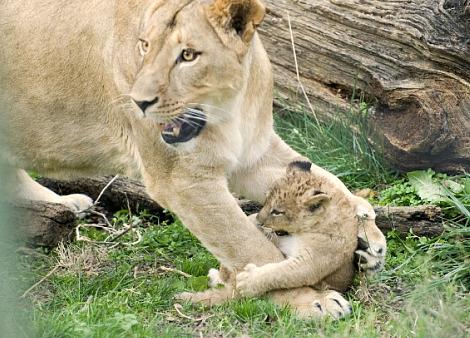 Lion cubs columbus zoo 6